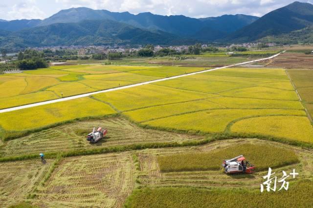 云浮新兴天堂镇,农户在大片的稻田上驾驶农机收割今年的早稻。
