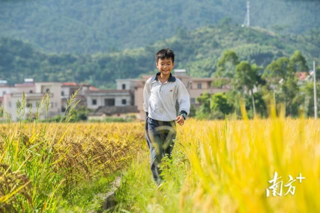 云浮新兴县天堂镇,孩童在自家的稻田田埂上奔跑。