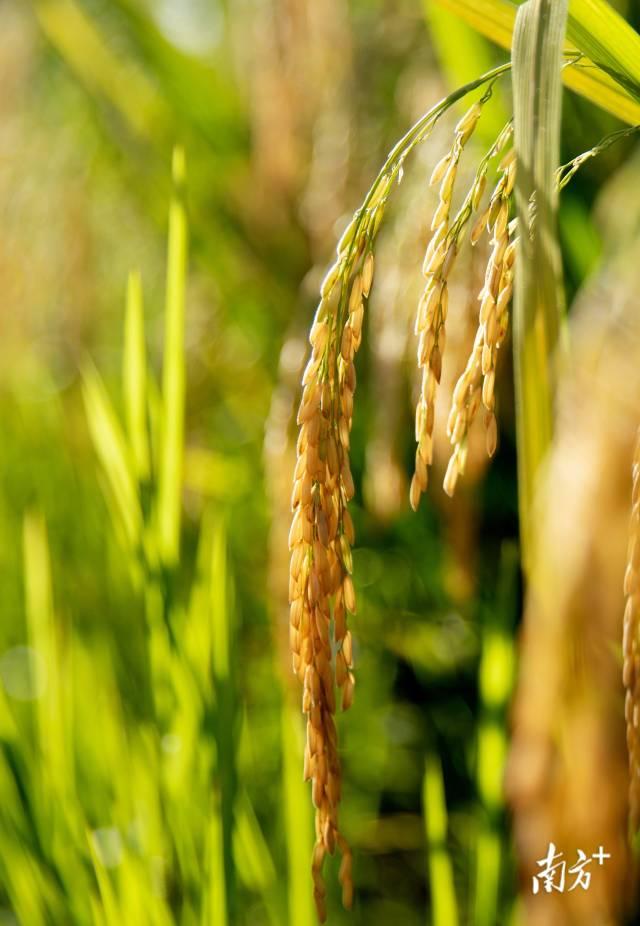 7月9日,成熟的稻谷压弯稻秆。