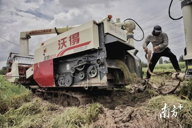 收割机不慎陷入泥潭不能动弹,李伟佳找来另一辆收割机准备把入陷车辆拖出泥潭。