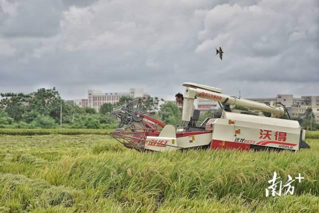 开平市水口镇,青年农机手李伟佳驾驶收割机在农田里马力全开,赶在下雨前收割水稻 。