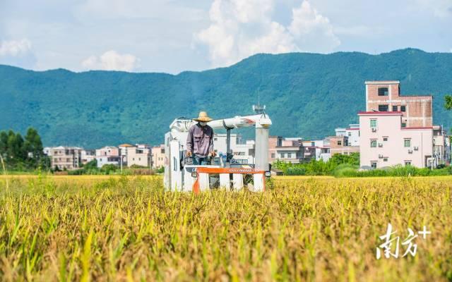 云浮新兴天堂镇,农户在金黄的稻田上驾驶农机收割稻米。