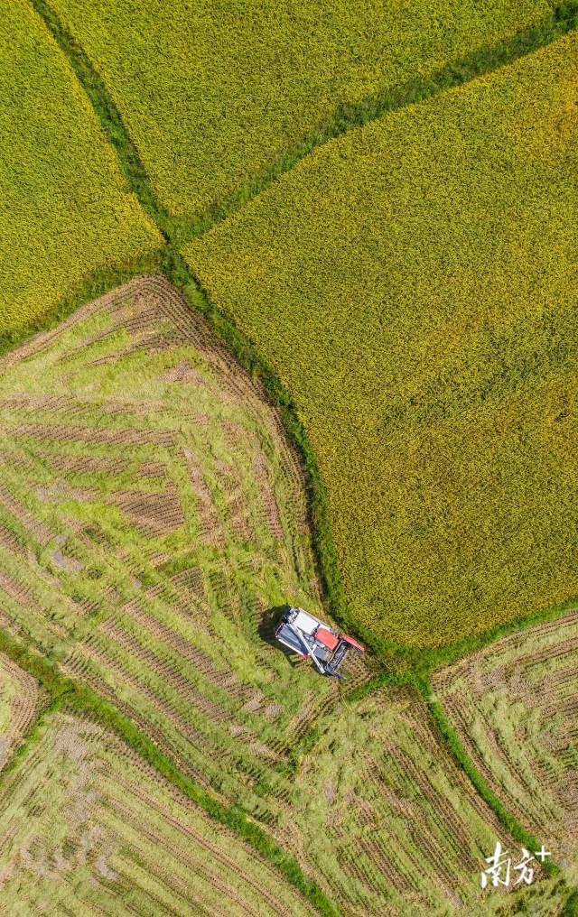 云浮新兴天堂镇,农户在大片的稻田上驾驶农机收割今年的早稻 。