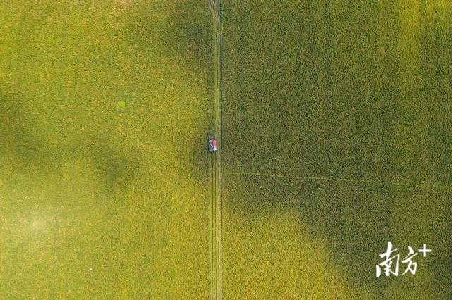 7月9日,潮阳区铜盂镇迎来丰收季,收割机来回在稻田中穿梭,收割水稻。