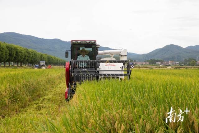 旱直播稻田现场收割测产